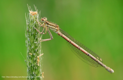 Libelle an einem jungen Getreidehalm